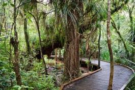 Ile Nord, Waipoua (forêt)