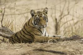 Madhya Pradesh, Bandhavgarh (parc national)