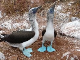 Galapagos, île de Genovesa