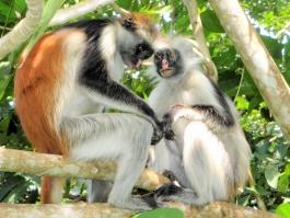 Zanzibar, Jozani (forêt)