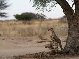 Kalahari (désert)