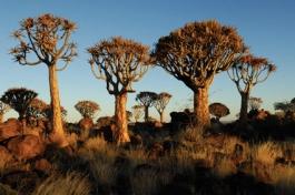 Kokerboom (forêt)
