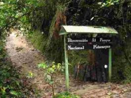 Podocarpus (Parc National)