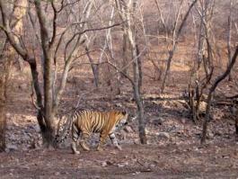 Rajasthan, Ranthambore (Parc National)