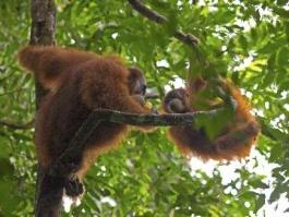 Ile de Sumatra, Gunung Leuser (parc national)
