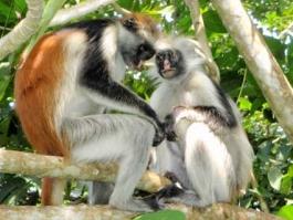 Jozani (Forêt de) - Zanzibar