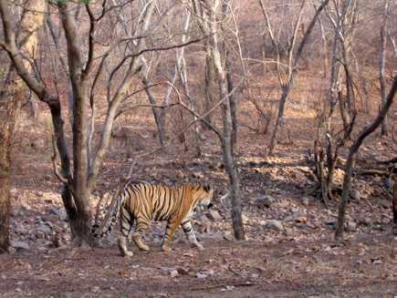 Ranthambore (Parc National), Rajasthan